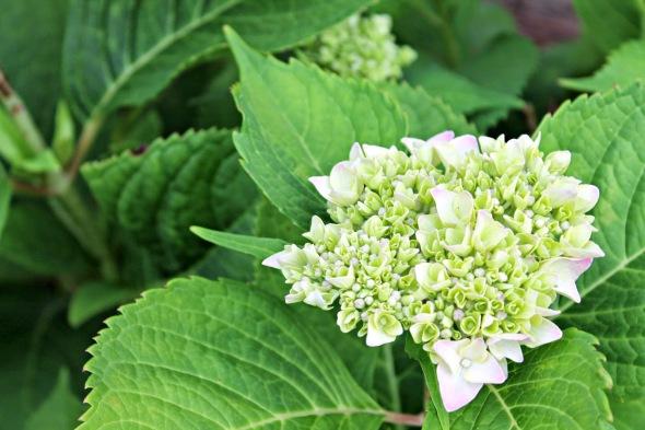 hydrangea+bloom