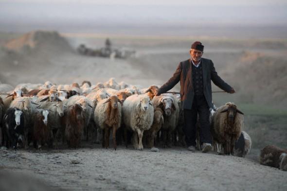 Iranian Shepherd Leading His Flock Home