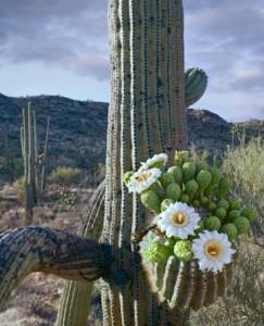Saguaro (Carnegiea gigantea) cactus blooming, Saguaro National Park, Arizona