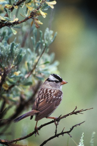 A white crowned sparrow, Zonotrichia leucophrys, perched on a tree.